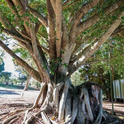 yungaburra curtain fig tree attraction